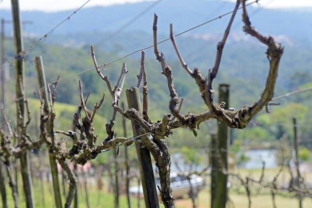 Weinstocknahaufnahme in der ruhezeit
