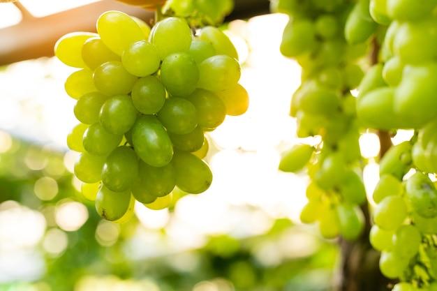 Weintrauben bei der ernte