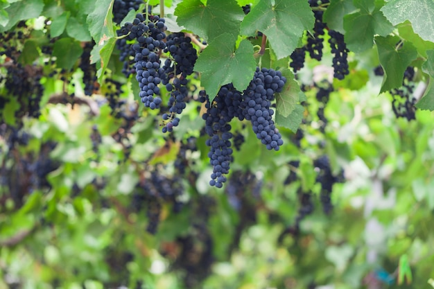 Weintrauben mit sonnenuntergang