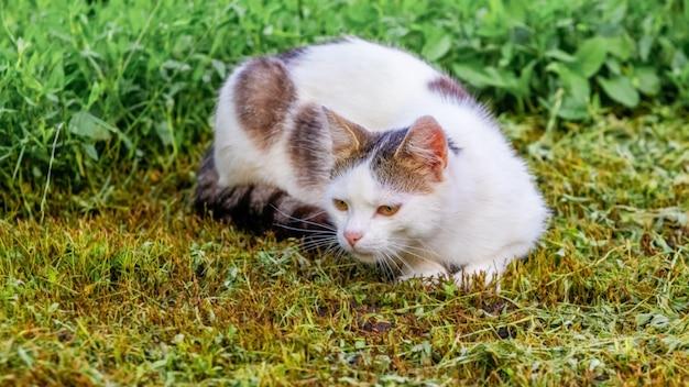 Weiß gefleckte katze im garten liegt im garten auf dem gemähten gras