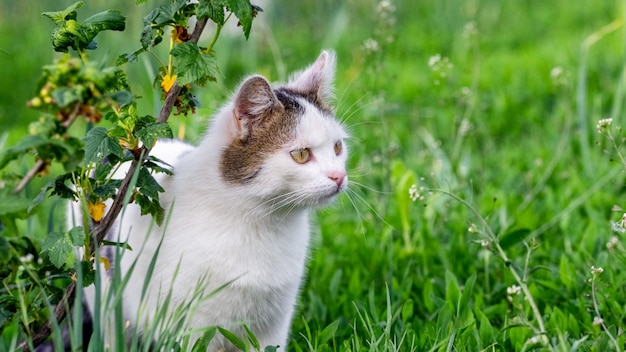 Weiß gefleckte katze mit genauerem blick im garten in der nähe des busches