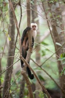 Weiß-throated kapuziner-affen, die in den dschungeln von costa rica sitzen