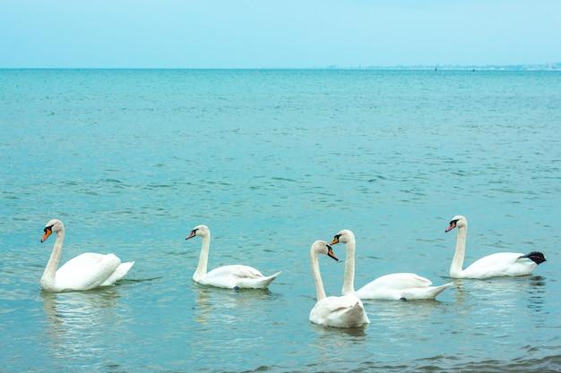 Weiße anmutige schwäne schwimmen im meer