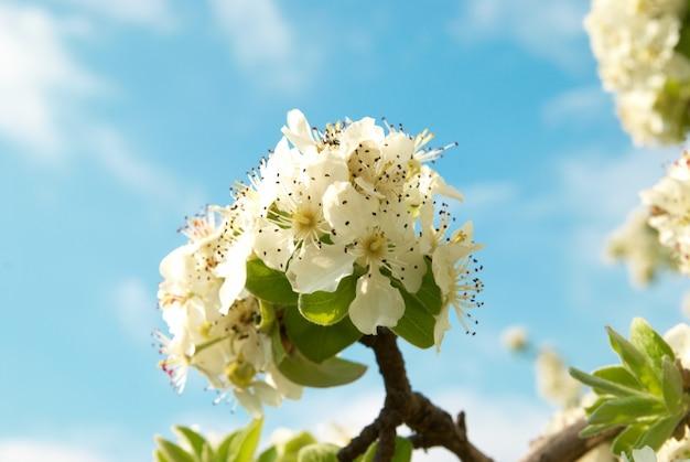 Weiße apfelbaumblumen mit blauem himmel