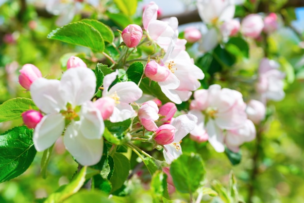 Weiße apfelblüten. blühender baum im frühling