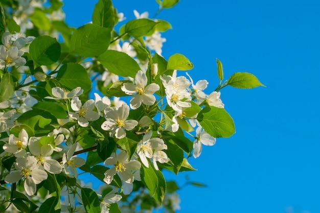 Weiße apfelblumen über blauem himmel, frühlingshintergrund