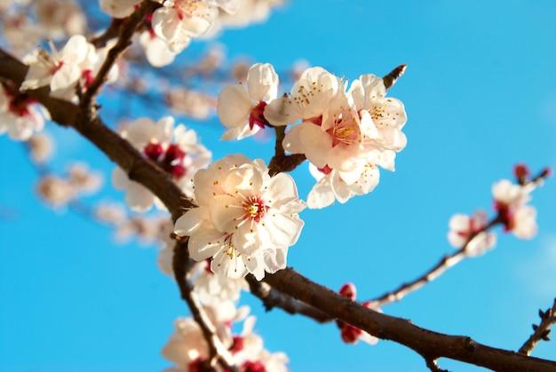 Weiße aprikosenblumen auf frühlingsbaum mit blauem himmelhintergrund