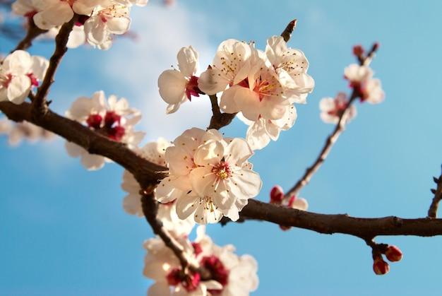 Weiße aprikosenblumen mit blauem himmelhintergrund