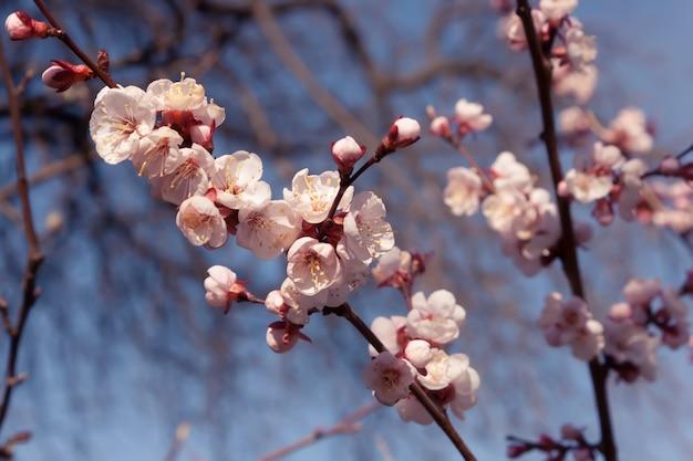 Weiße aprikosenblumen