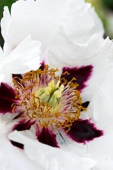 Weiße baumpfingstrosenblume, die in einem stadtpark blüht