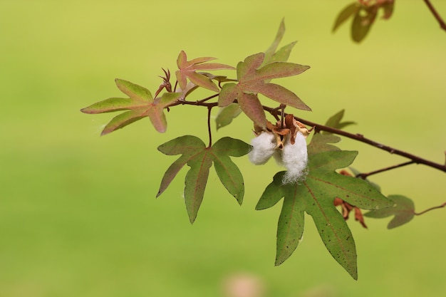 Weiße baumwollpflanze (gossypium arboreum)