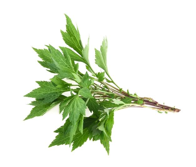 Weiße beifußpflanze (artemisia lactiflora) isoliert auf weißem hintergrund