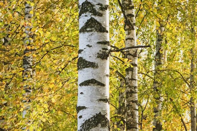 Weiße birke gegen gelbes herbstlaub