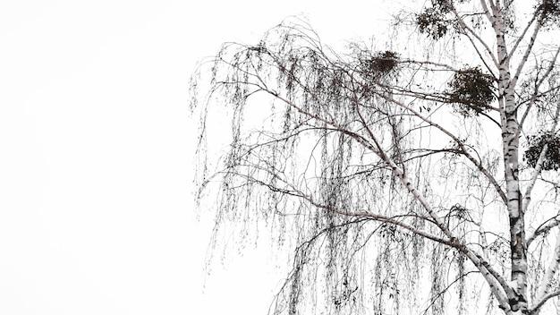 Weiße birke ohne blätter und grauer himmel am wintertag