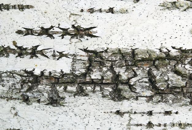 Weiße birkenrindenbeschaffenheit mit moosnahaufnahme.