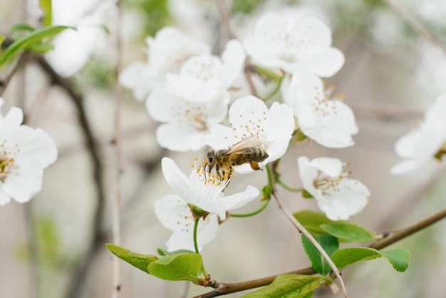 Weiße birne blüht nahaufnahme und eine biene im frühlingsgarten.
