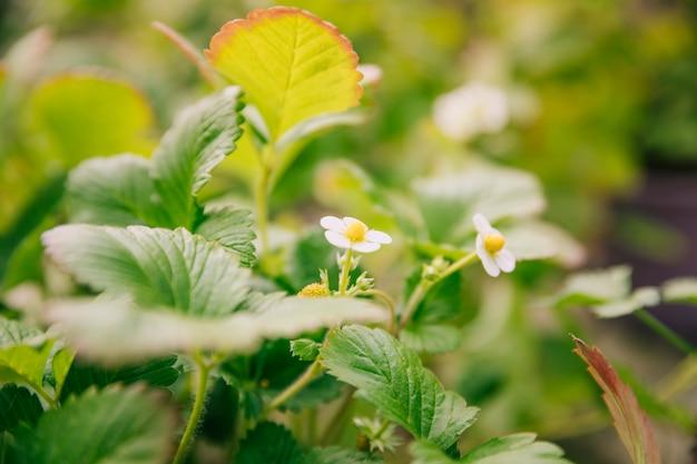 Weiße blühende pflanze der erdbeere im garten