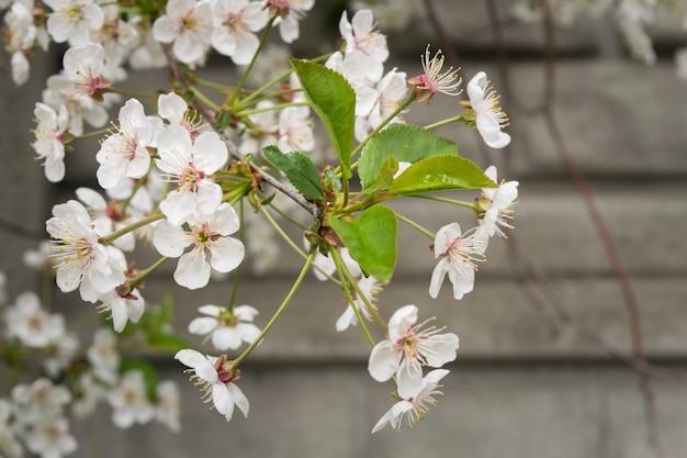 Weiße blüte des frühlinges blüht auf dem baumast gegen die wand. tiefenschärfe