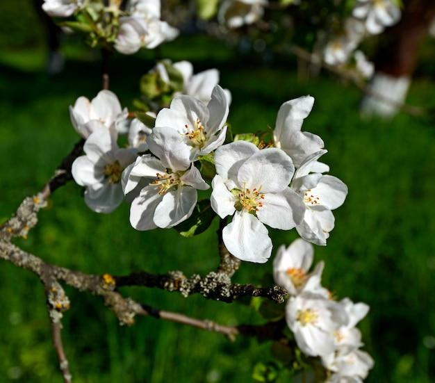 Weiße blüte von apfelbäumen im frühling