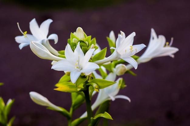 Weiße blüten der hosta im dunkeln