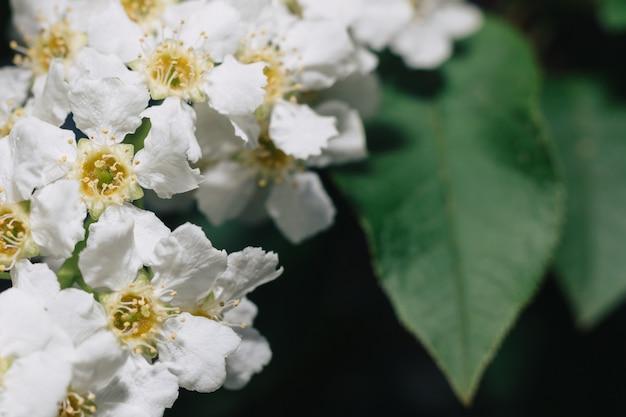 Weiße blüten der traubenkirsche. makro nahaufnahme. copyspace. grünes laub im hintergrund.