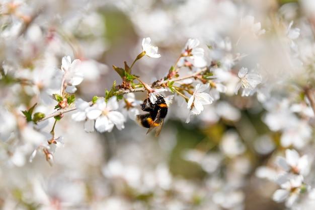 Weiße blüten des blühenden obstbaums, der pollen, weichzeichner, kopienraum verbreitet. hummel auf einer kirschblüte