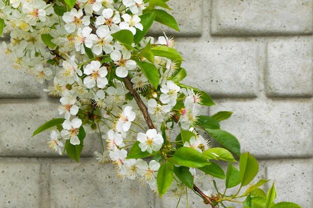 Weiße blüten des frühlinges auf baumast gegen die wand
