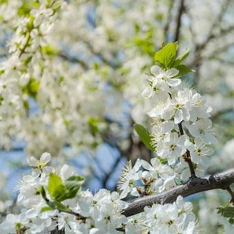 Weiße blüten des wildkirschpflaumenbaums. frühlingshintergrund mit kirschpflaumenbaumblüte.