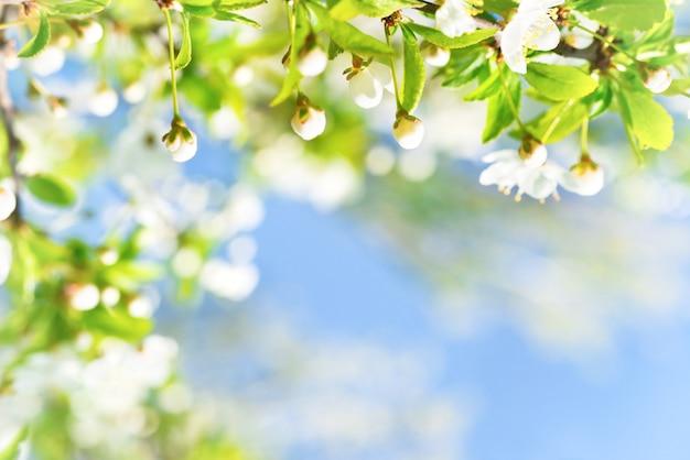 Weiße blüten mit knospen auf einem blühenden kirschbaum, weicher hintergrund aus grünen frühlingsblättern und blauem himmel