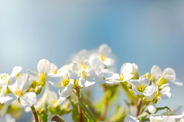 Weiße blüten schließen mit blauem hintergrund