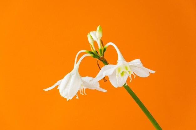 Weiße blüten von eucharis amazonica (amazon lily) auf orangefarbenen hintergrund