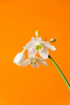 Weiße blüten von eucharis amazonica auf orange