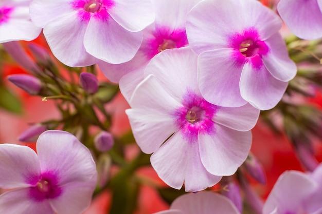 Weiße blüten von phlox (phlox paniculata)