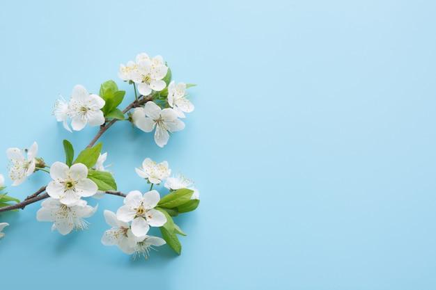 Weiße blütenniederlassungen des frühlinges auf blau.