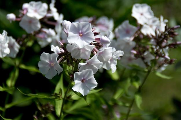 Weiße blütenphlox paniculata