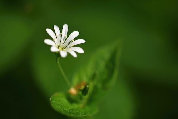 Weiße blume des schönen kleinen frühlinges. natürlicher farbiger unscharfer hintergrund mit wald (stellaria nemo