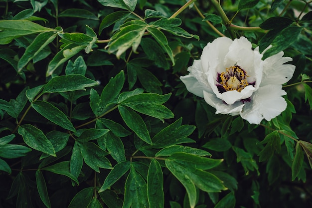 Weiße blume in der blüte auf lebendigen grünen blättern