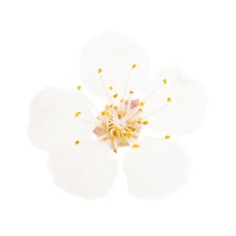 Weiße blume vom kirschbaum lokalisiert auf weißem hintergrund. makro-studioaufnahme