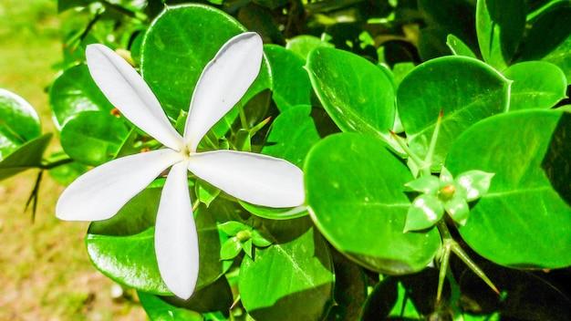 Weiße blume von carissa macrocarpa (natal plum) nahaufnahme, israel. v