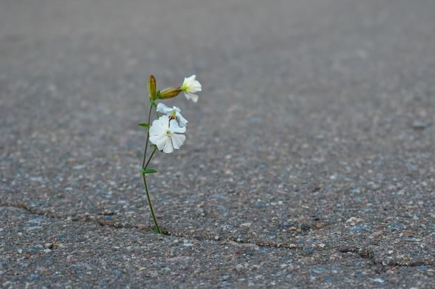 Weiße blume wächst aus asphalt. lebenslust.