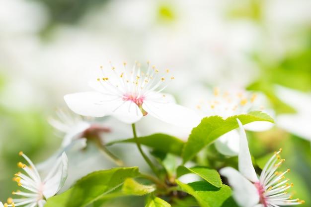 Weiße blumen auf einem blühenden kirschbaum mit weichem hintergrund aus grünen frühlingsblättern. makroaufnahme