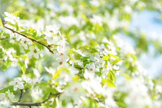 Weiße blumen auf einem blühenden kirschbaum mit weichem hintergrund aus grünen frühlingsblättern und blauem himmel