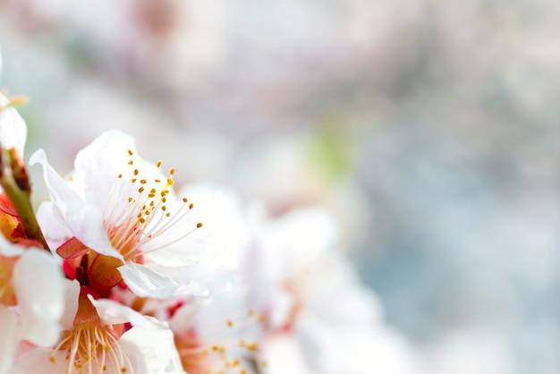 Weiße blumen auf frühlingspflaumenbaum mit weichem blauem bokeh-hintergrund