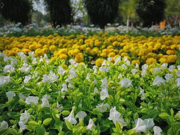 Weiße blumen der nahaufnahme im gelben ringelblumenblumenfeld