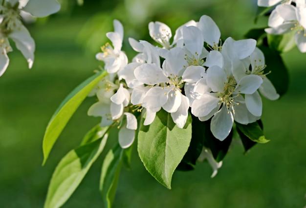 Weiße blumen des blühenden baums
