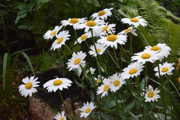 Weiße blumen des kamillengartens des deutschen kamillengänseblümchens.