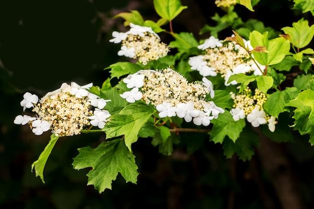 Weiße blumen guelder rose auf einem schwarzen hintergrund. blüte von guelder rose_