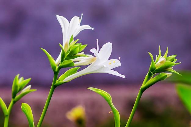 Weiße blumen hosta auf dem purpur