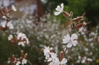 Weiße blumen, pflanzen