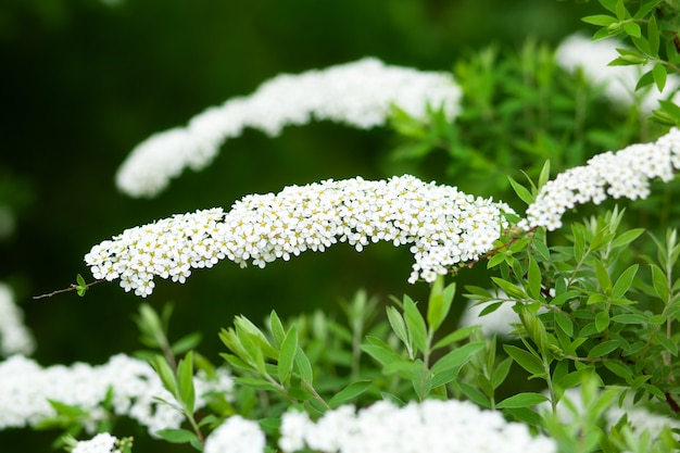 Weiße blumen spiraea auf zweig auf grünem hintergrund. spiraea cinerea grefsheim blüht im frühlingsgarten. busch der weißen blumen im frühling.